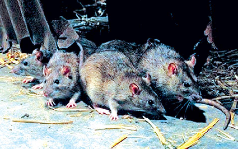 El Senado se hizo eco de la situación generada por los casos de hantavirus, transmitido por roedores.