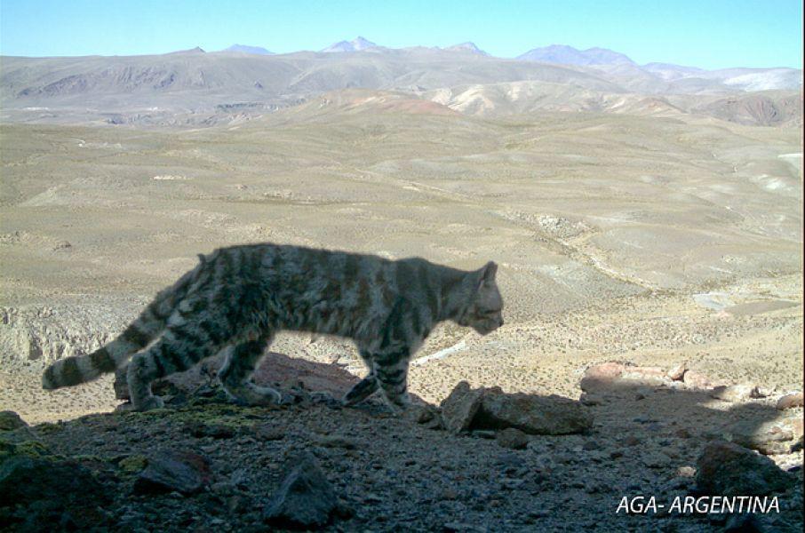 El gato andino (Leopar-dus jacobita) también habita en esa reserva natural de Parque Los Cardones en Salta.